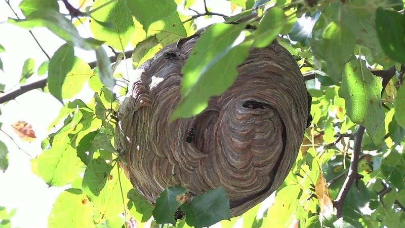 Bald- faced hornet nest