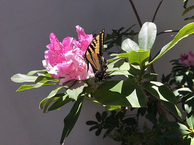 Tiger Swallowtail butterfly on rhododendron, Redwood City, May 2019