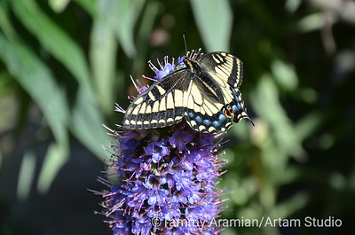 Tiger swallowtail butterfly on Tower of Jewels flowers, Sausalito, April 2013