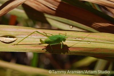 bug on crocus leaf, Aug. 2009