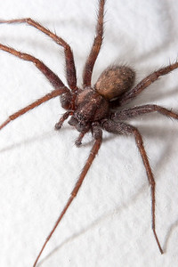 House Spider, Tegenaria Domestica - Edmonton, Alberta