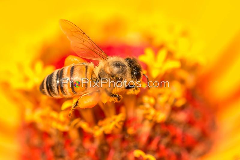 Bees at Arboretum 6-6-15