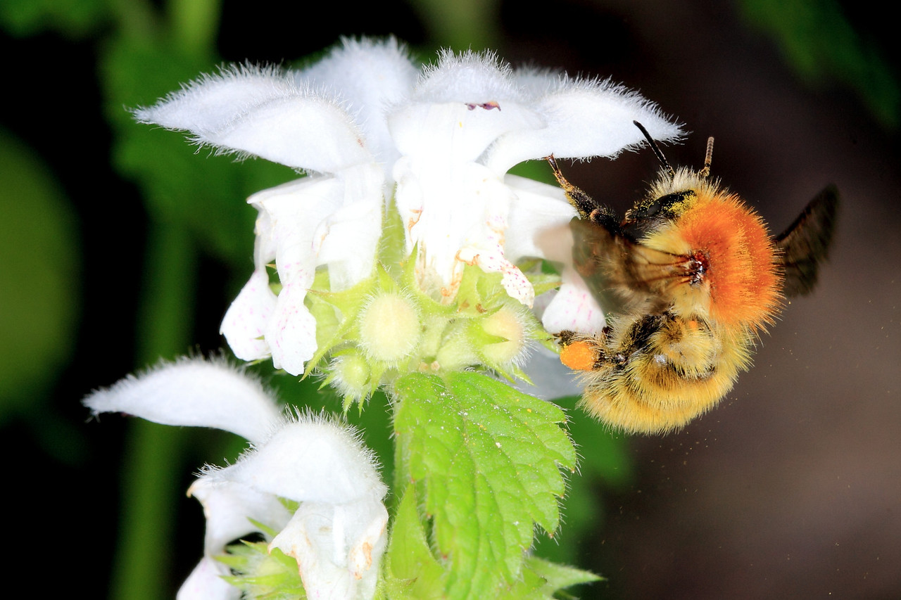 A worker bumblebee (Bombus pascuorum) in Parc Natural Montseny, Catalunya (Europe).