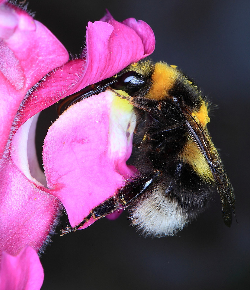 Bumblebee (Bombus terrestris) on turtlehead (Chelone glabra) flower.  These flowers have a hinged door preventing small insects from gaining access to the corolla and its nectar.  Bumblebees are large and strong enough to pull open the hinged door.