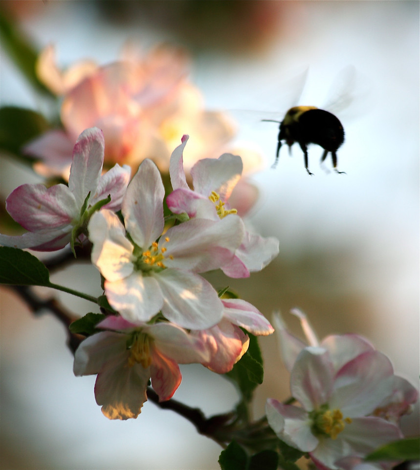 Bumblebee (Bombus impatiens) coming in for a landing on apple blossoms in my backyard.