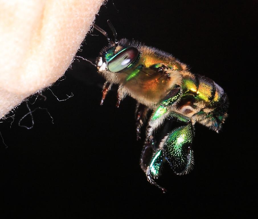 Euglossa sp. male, Costa Rica