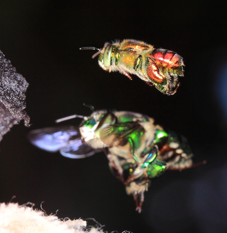Euglossine bee (Euglossa sp.) males collecting scent at a scent bait in Costa Rica.