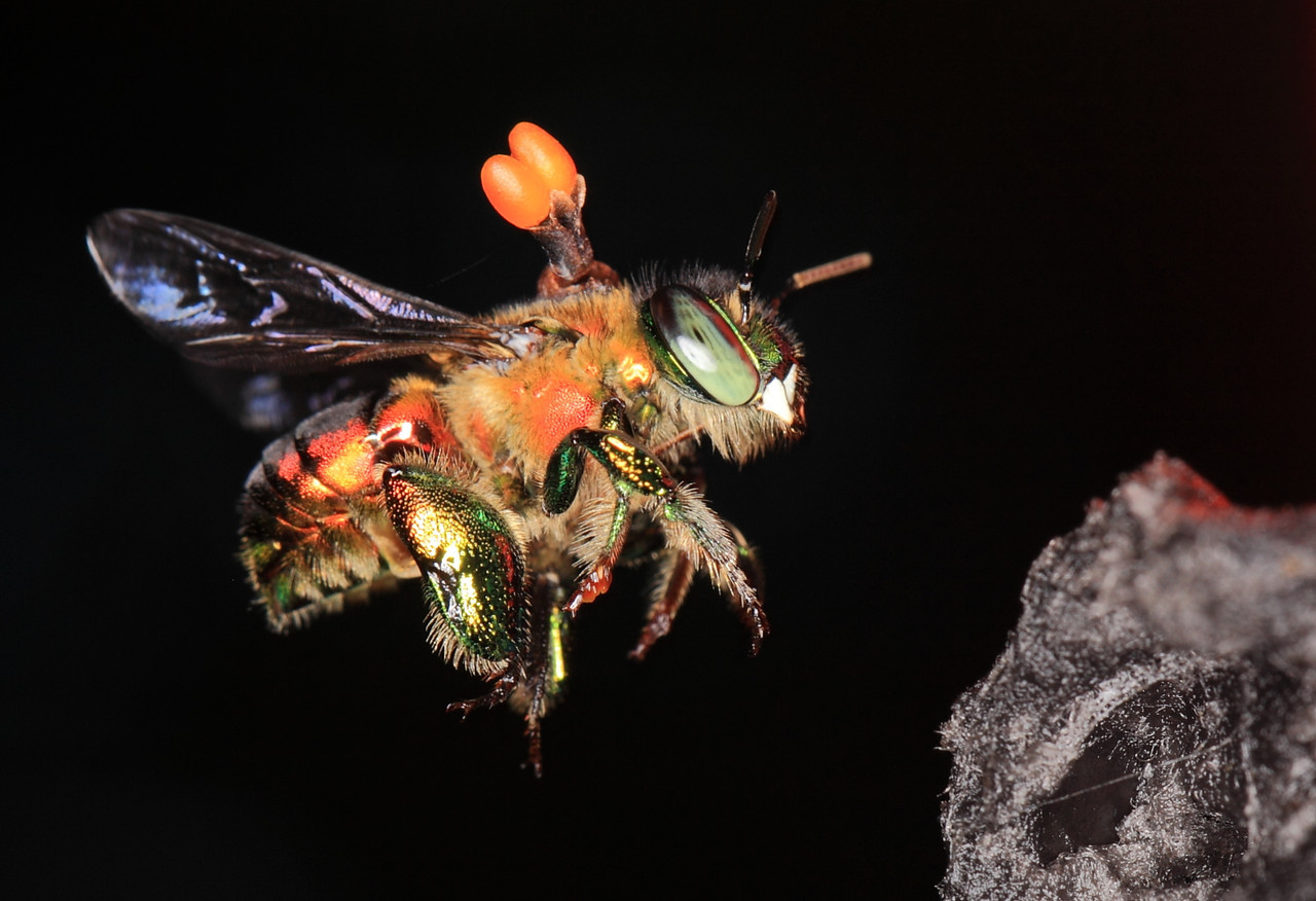 Euglossine bee (Euglossa sp.) male collecting scent at a scent bait in Costa Rica.  This one has an orchid pollinia attached to its dorsal thorax.
