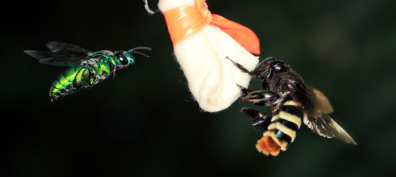 Exaerete sp. and Eufriesea ornata males attracted to a scent bait in Costa Rica.