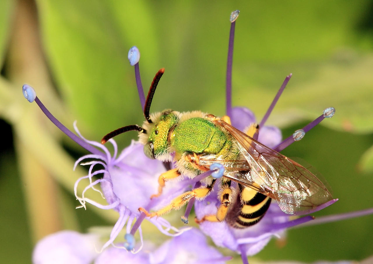Agapostemon sericeus, a small male communal (primitively social) sweat bee (Halictidae).  (Females are entirely green)