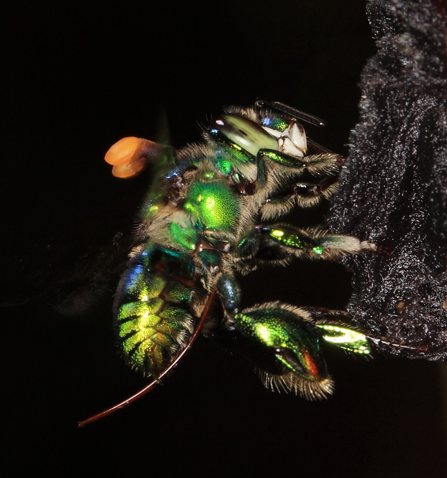Euglossine bee (Euglossa sp.) male collecting scent at a scent bait in Costa Rica.  This bee has an orchid pollinia stuck on its dorsal thorax.