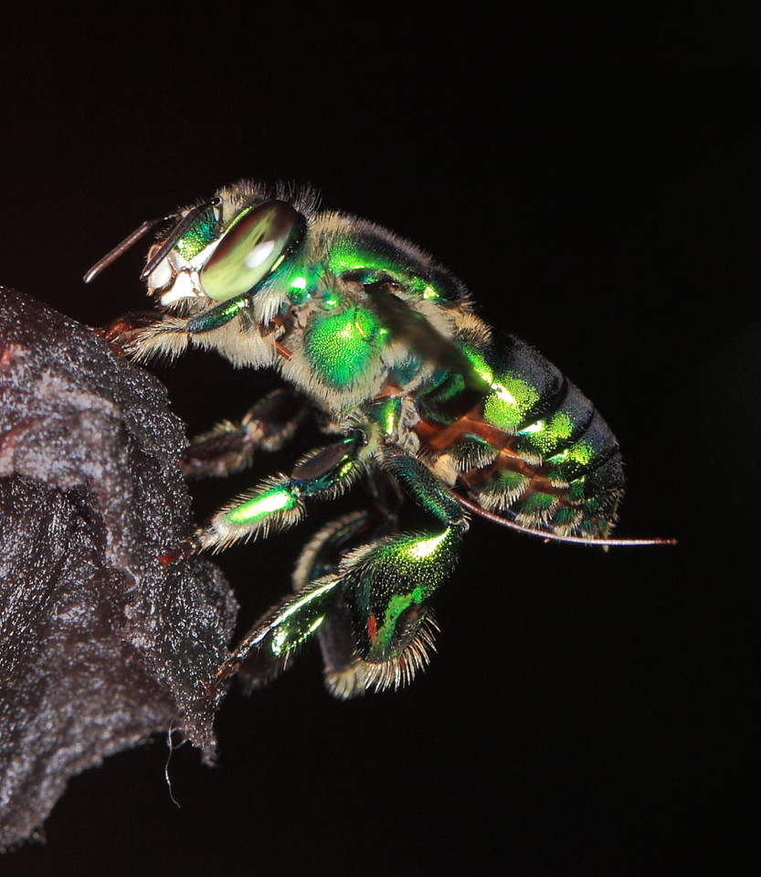 Euglossine bee (Euglossa sp.) male collecting scent at a scent bait in Costa Rica.