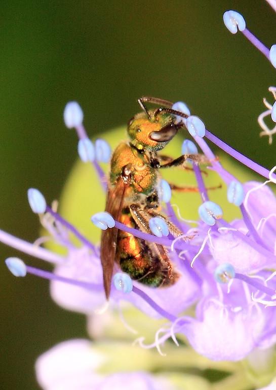 Augochlora pura, a small solitary sweat bee (Halictidae).
