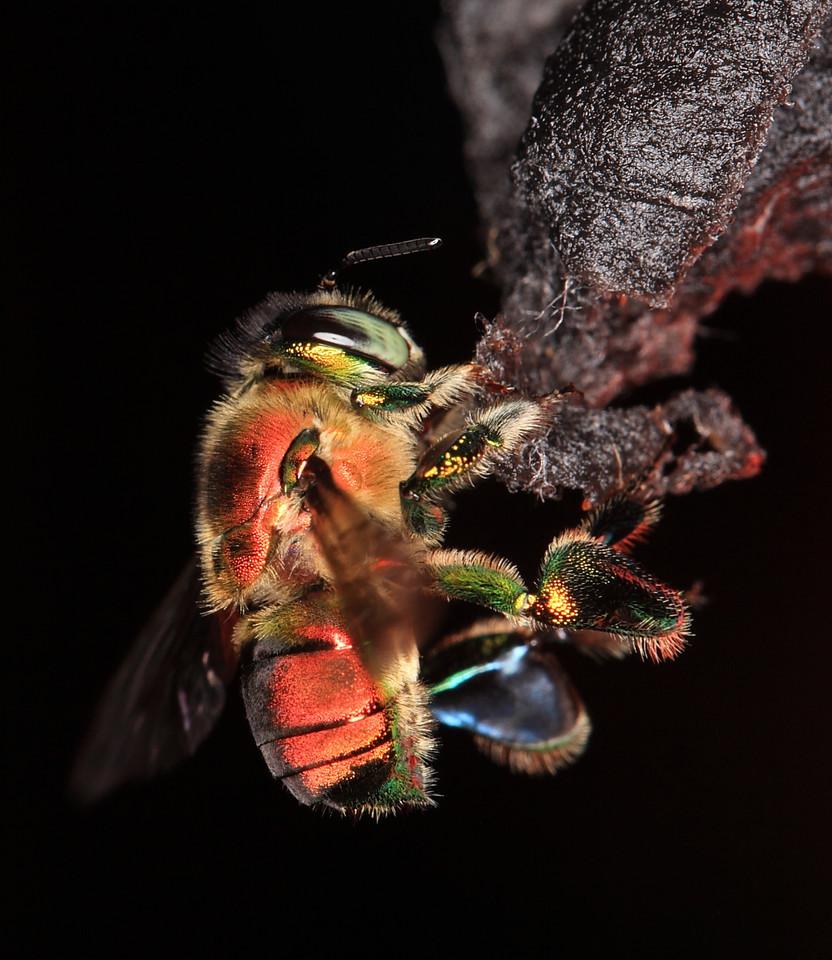 Euglossine bee (Euglossa sp.) male collecting scent at a scent bait in Costa Rica.