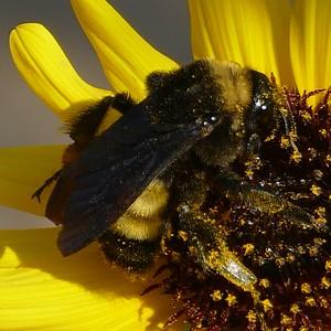 P149BombusPensylvanicusAmBumblebee153 July 30, 2015  9:06 a.m.  P1490153 Here is a Bombus pensylvanicus, American Bumblebee, at LBJ WC.