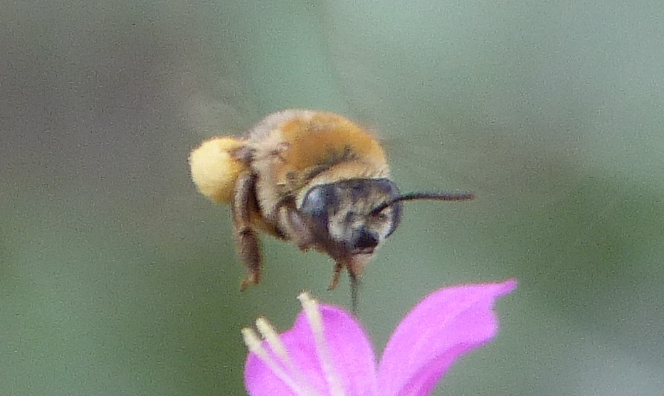 P126Anthophora-Barred-DiggerBee677 June 6, 2013  9:24 a.m.  P1260677 Catching this Anthophora species digger bee in flight yields a blurred look at the pale face and gray-brown eyes.  Seen at LBJ WC.  Apid.