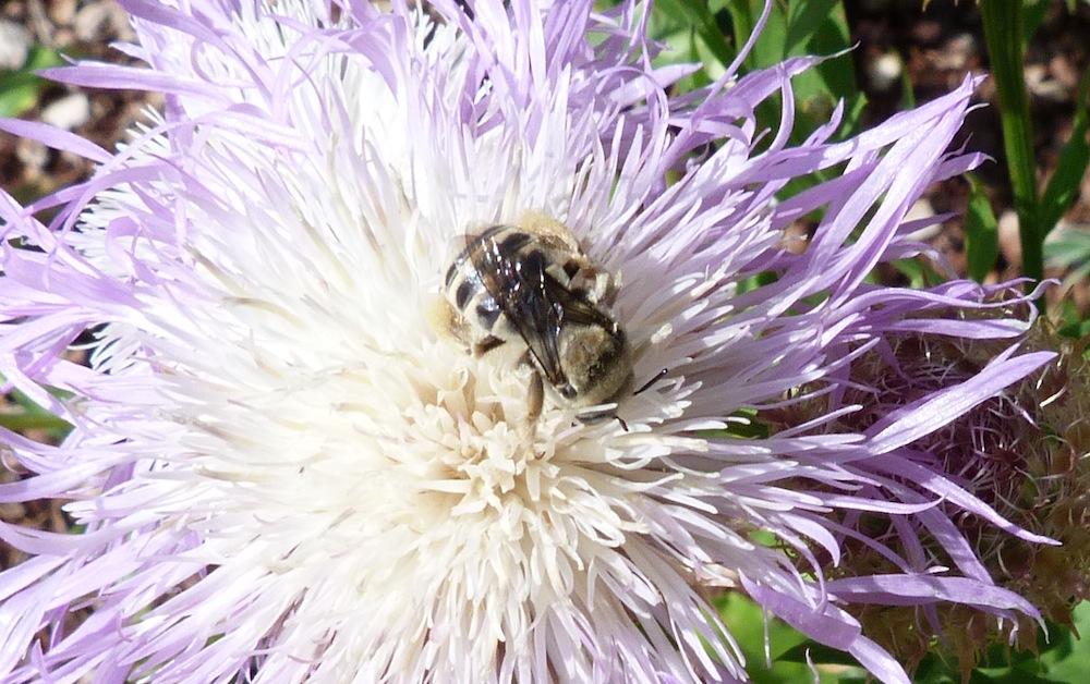 P103DiggerBeeSp302  June 2, 2011  10:44 a.m.  P1030302 Digger Bee species at LBJ WC.