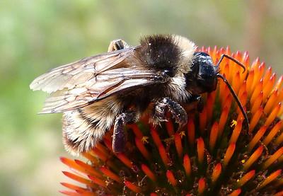 P131BombusPensylvanicusMaleAmBbee263 Nov. 7, 2913  10:59 a.m.  P1310263 Side view of the male American Bumblebee, Bombus pensylvanicus, at LBJ Wildflower Center.