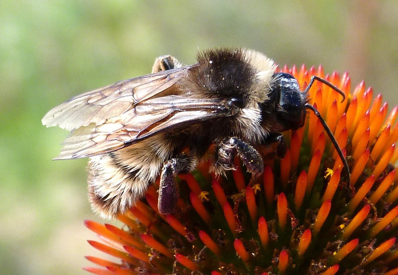 P131BombusPensylvanicusMaleAmBbee263 Nov. 7, 2913  10:59 a.m.  P1310263 Side view of the male American Bumblebee, Bombus pensylvanicus, at LBJ Wildflower Center.  Apid.