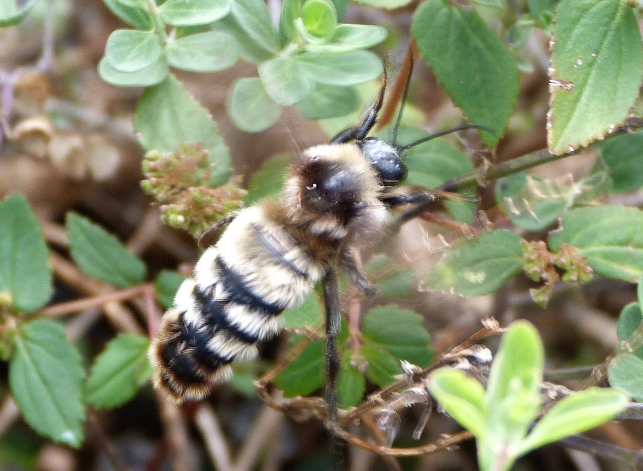 P131BombusPensylvanicusAmBbeeMale225 Nov. 7, 2013  10:35 a.m.  P1310225 This is a male American Bumblebee, Bombus pensylvanicus, at LBJ Wildflower Center.  Apid.