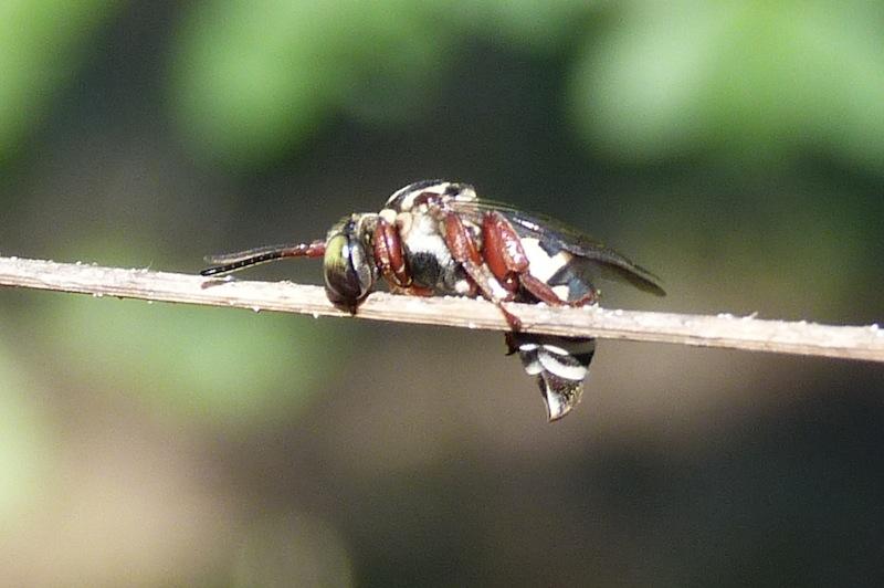 P102TriepeolusCuckooBee118 April 28, 2011  9:06 a.m.  P1020118 Triepeolus Cuckoo Bee at LBJ WC, sleeping on grass stem.  Apid.