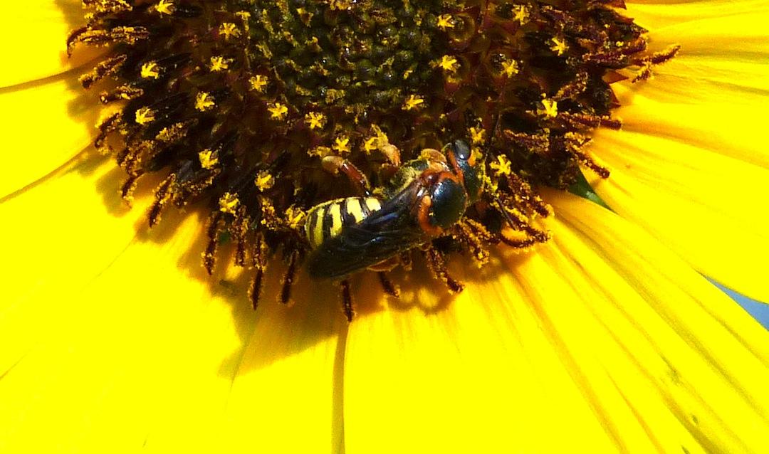 P104DianthidiumSpMegachilid-best253 July 28, 2011  9:10 a.m.  P1040253 Dianthidium sp. Megachilid Leaf-cutter bee showing his best colors.  LBJ WC.