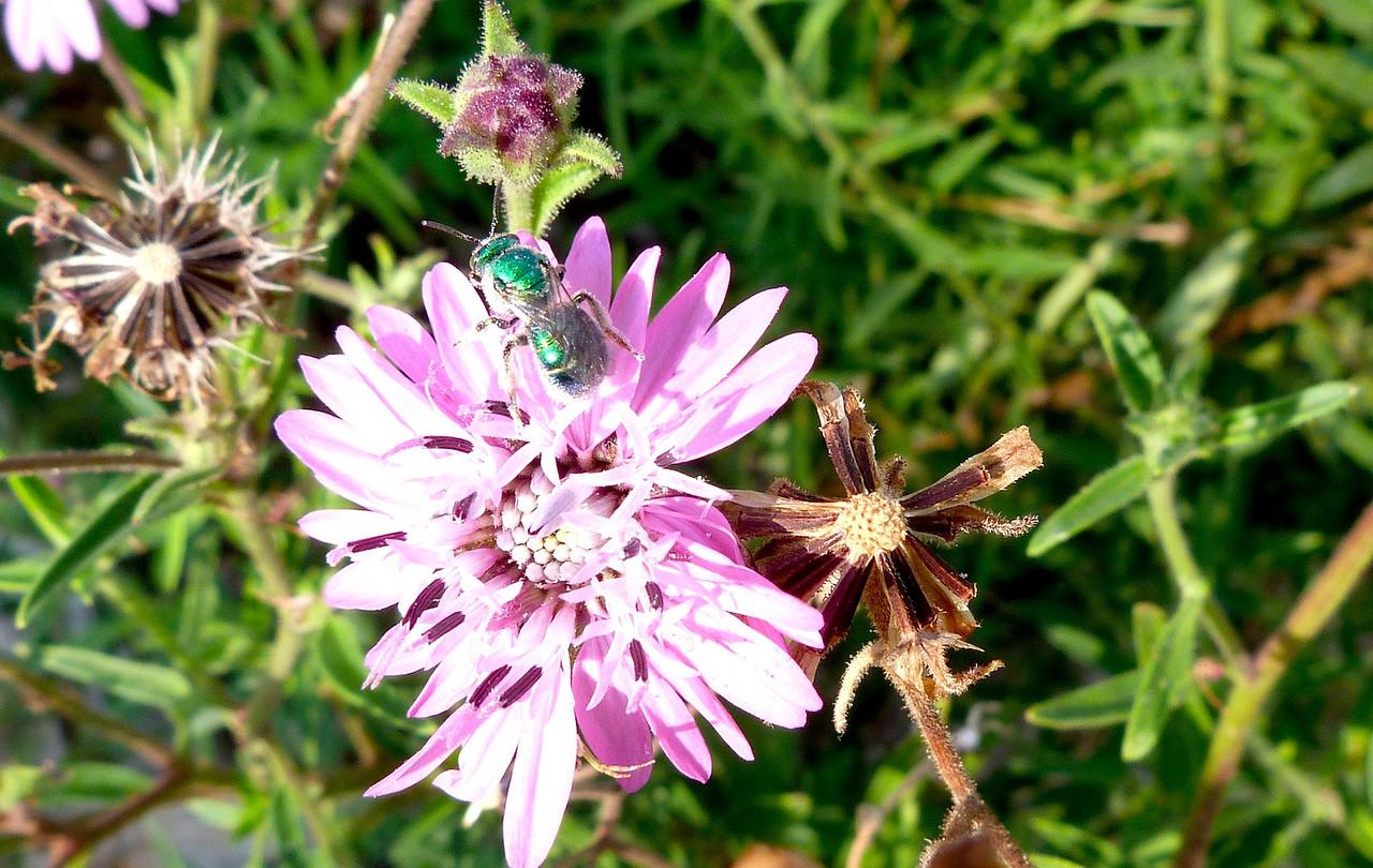 P104GreenSweatBee787 Aug. 11, 2011  8:58 a.m.  P1040787 Green Sweat Bee at LBJ WC.