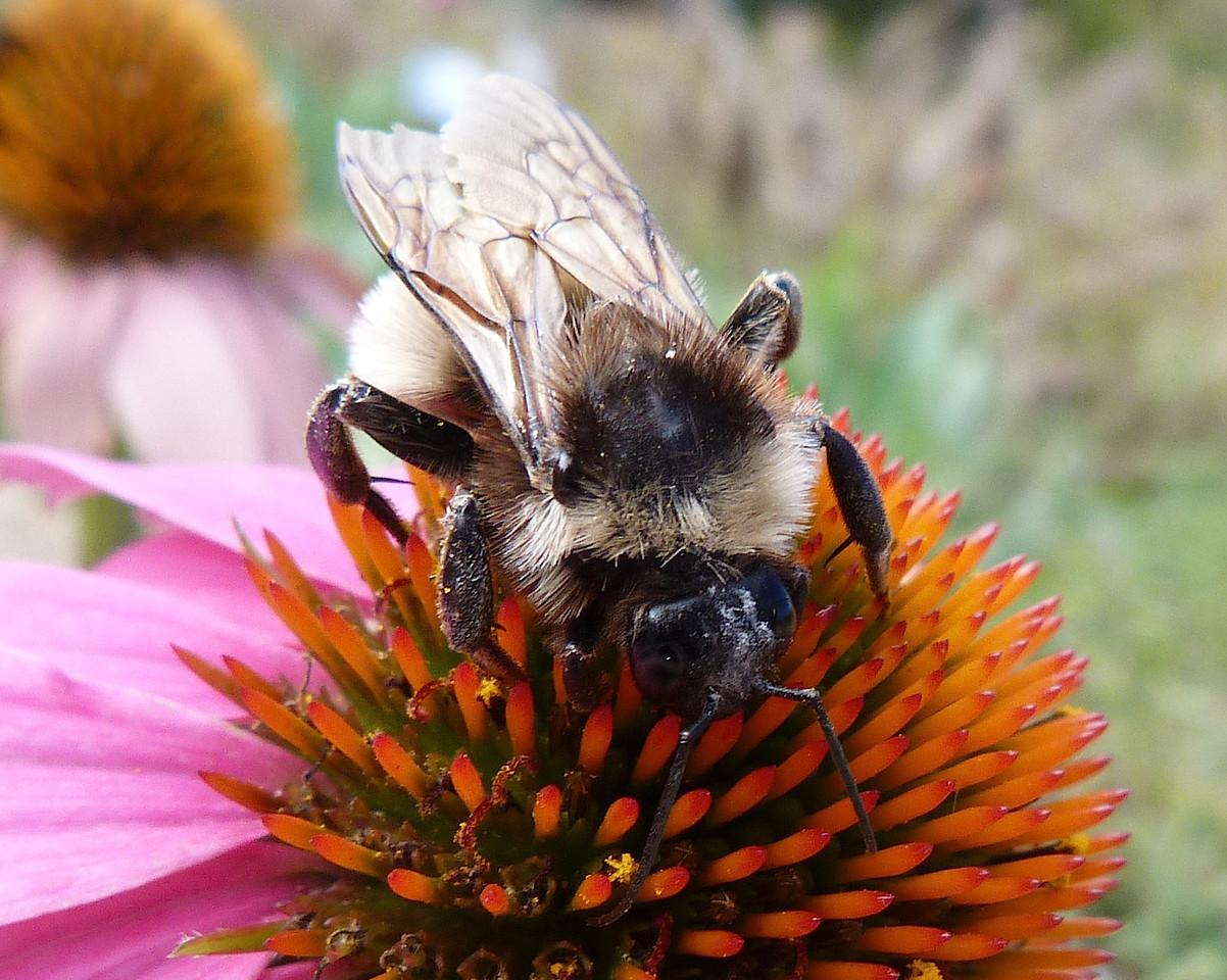 P131BombusPensylvanicusMaleAmBbee273 Nov. 7, 2013  11:00 a.m.  P1310273 Top view with the face of this male American Bumblebee, Bombus pensylvanicus, at LBJ Wildflower Center.  Apid.