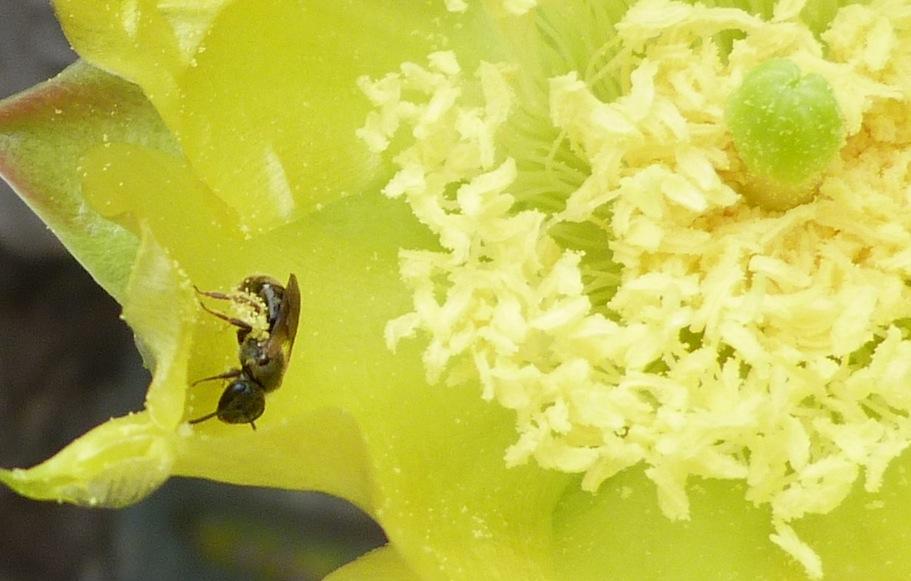 P102AntlikeBeenrLasioglossumSp765 May 19, 2011  10:26 a.m.  P1020765   Antlike Bee close to Lasioglossum sp. at LBJ WC.
