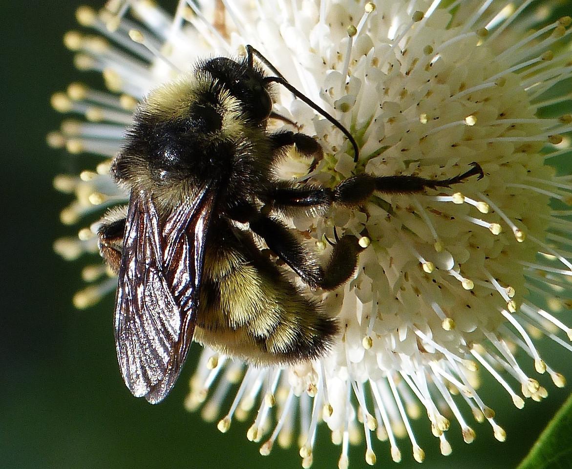 P127BombusPensylvanicusMaleBumblebee357 June 27, 2013  9:58 a.m.  P1270357 Here is a male Bumblebee, Bombus pensylvanicus, on buttonbush at LBJ Wildflower Center.  Apid.