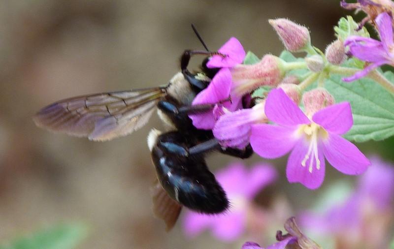 P104ECarpBee460 July 30, 2011  9:30 a.m.  P1040460 Eastern Carpenter Bee, Xylocopa virginica, at LBJ WC.  Black abd. tip.  Apid.