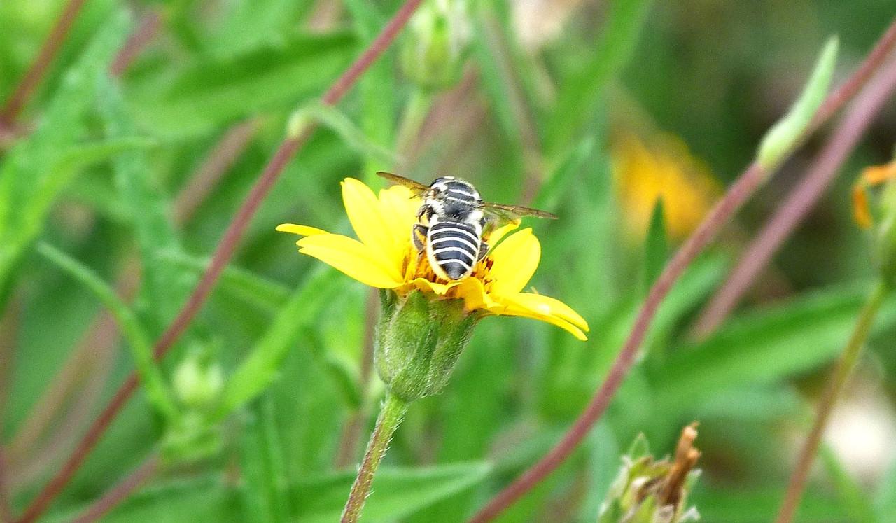 P104MegachileLeaf-cBee429 July 30, 2011  8:53 a.m.  P1040429 Megachile Sp. Leaf-cutter Bee at LBJ WC.