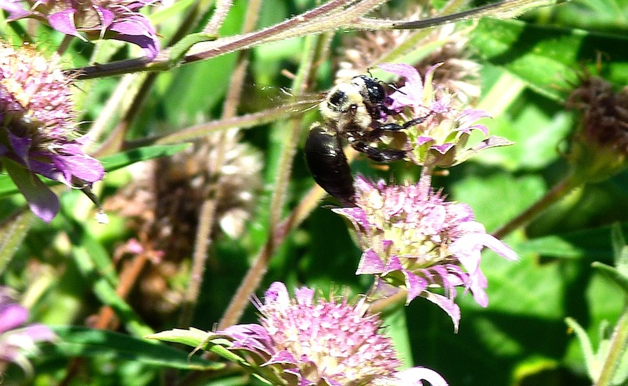 P103ECarpenterBeeXVirginica975 June 30, 2011  9:15 a.m.  P1030975 Xylocopa virginica, Eastern Carpenter Bee female--black eyes and face.  Male has dark gray eyes. Seen at LBJ WC.   Apid.