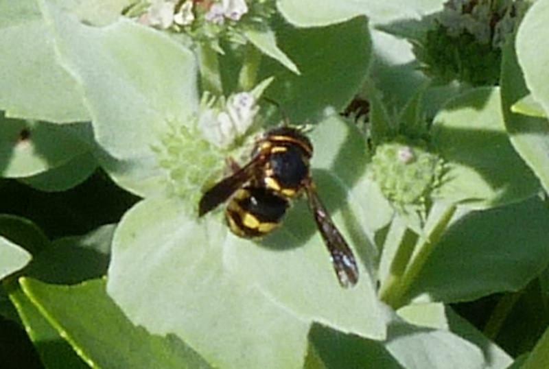 P103AnthidiellumSpMegachilidBee284 June 2, 2011 10:12 a.m.  P1030284 Anthidiellum sp. Megachilid bee at LBJ WC.