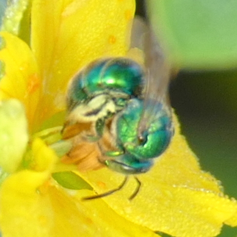P159AugochloropsisMetallicaGrSweatBee823 Aug. 25, 2016  8:42 a.m.  P1590823 Shape and color of the wing base make this Augochloropsis metallica, not Agapostemon.  See next and last.  (Wing base is odd shape and green.)