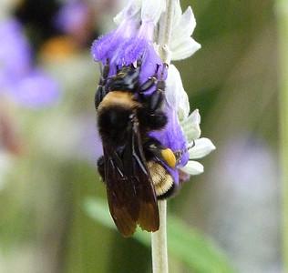 P137BombusPensylvanicusAmBbee286 Aug 7, 2014  8:03 a.m.  P1370286 Here is an American Bumblebee, Bombus pensylvanicus, at LBJ WC.