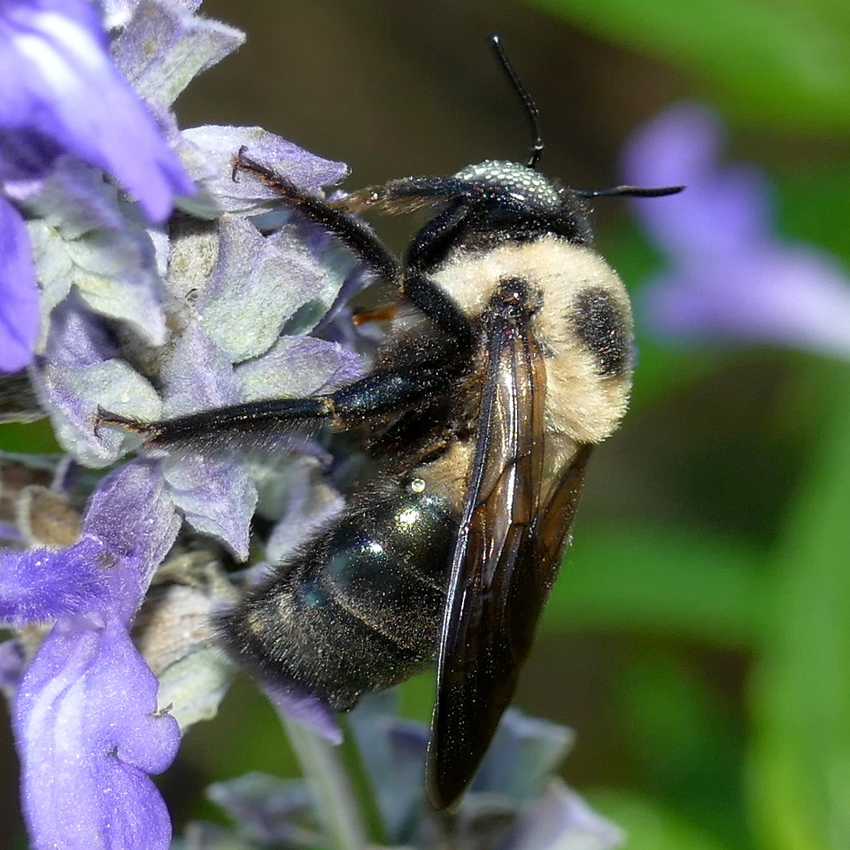 P162XylocopaVirginica235 Oct. 27, 2016  8:38 a.m.  P1620235 This is an Eastern Carpenter Bee, Xylocopa virginica, still sleeping on its favorite blooms.  Note dew on its eye!  Pale eye probably means a male, but I can't find that stated in black and white.  Apid.