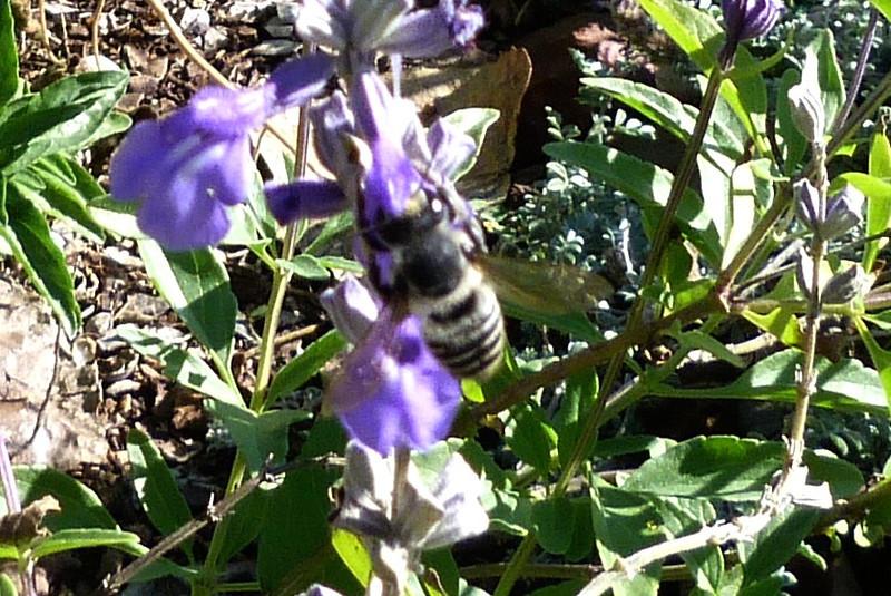 P107MegachileSpBeeWAbdPollen431 Nov. 17, 2011  10:28 a.m.  P1070431 Megachilid Leaf-cutter Bee does not show us his pollen-covered abdomen.  LBJ WC.