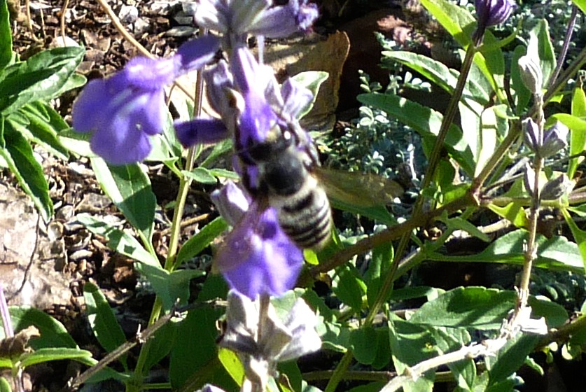 P107MegachileSpBeeWAbdPollen431 Nov. 17, 2011  10:28 a.m.  P1070431 Megachilid Leaf-cutter Bee does not show us his pollen-covered abdomen.  LBJ WC.