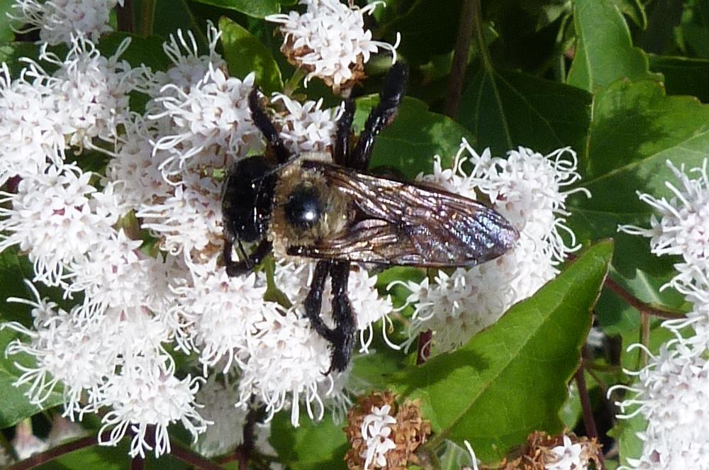 P131XylocopaVirginicaECarpBee507 Nov. 14, 2013  10:39 a.m.  P1310507 This is a Xylocopa virginica Eastern Carpenter Bee on Shrubby Boneset at LBJ Wildflower Center.  Apid.