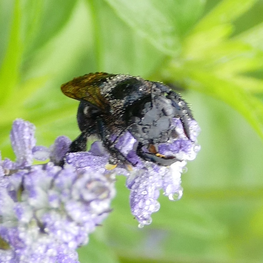 P145WetXylocopaMicansSnCarB510 Apr. 23, 2015  8:40 a.m.  P1450510 Rain is a great disguise.  This is a very wet Xylocopa micans, Southern Carpenter Bee, at LBJ WC.  Apid.