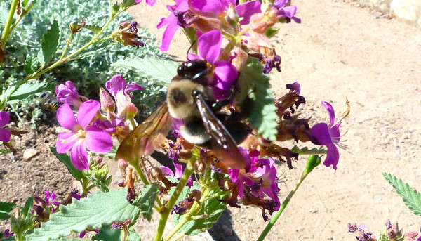 P104Xyloc-VirginicaECarpB-best340 July 28, 2011  10:09 a.m.  P1040340 Xylocopa virginica Eastern Carpenter Bee at LBJ WC.  Apid.