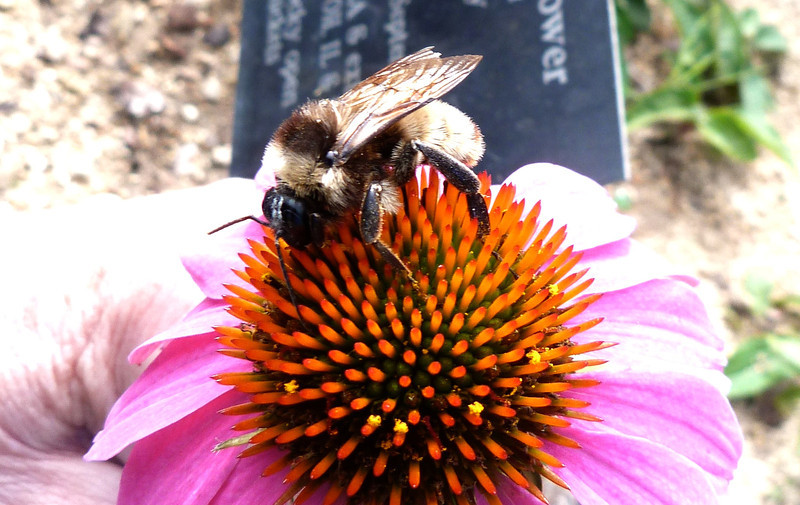 P131BombusPensylvanicusMaleAmBbee283 Nov. 7, 2013  11:01 a.m.  P1310283 Another look at the male American Bumblebee, Bombus pensylvanicus, on purple coneflower at LBJ Wildflower Center.  Apid.