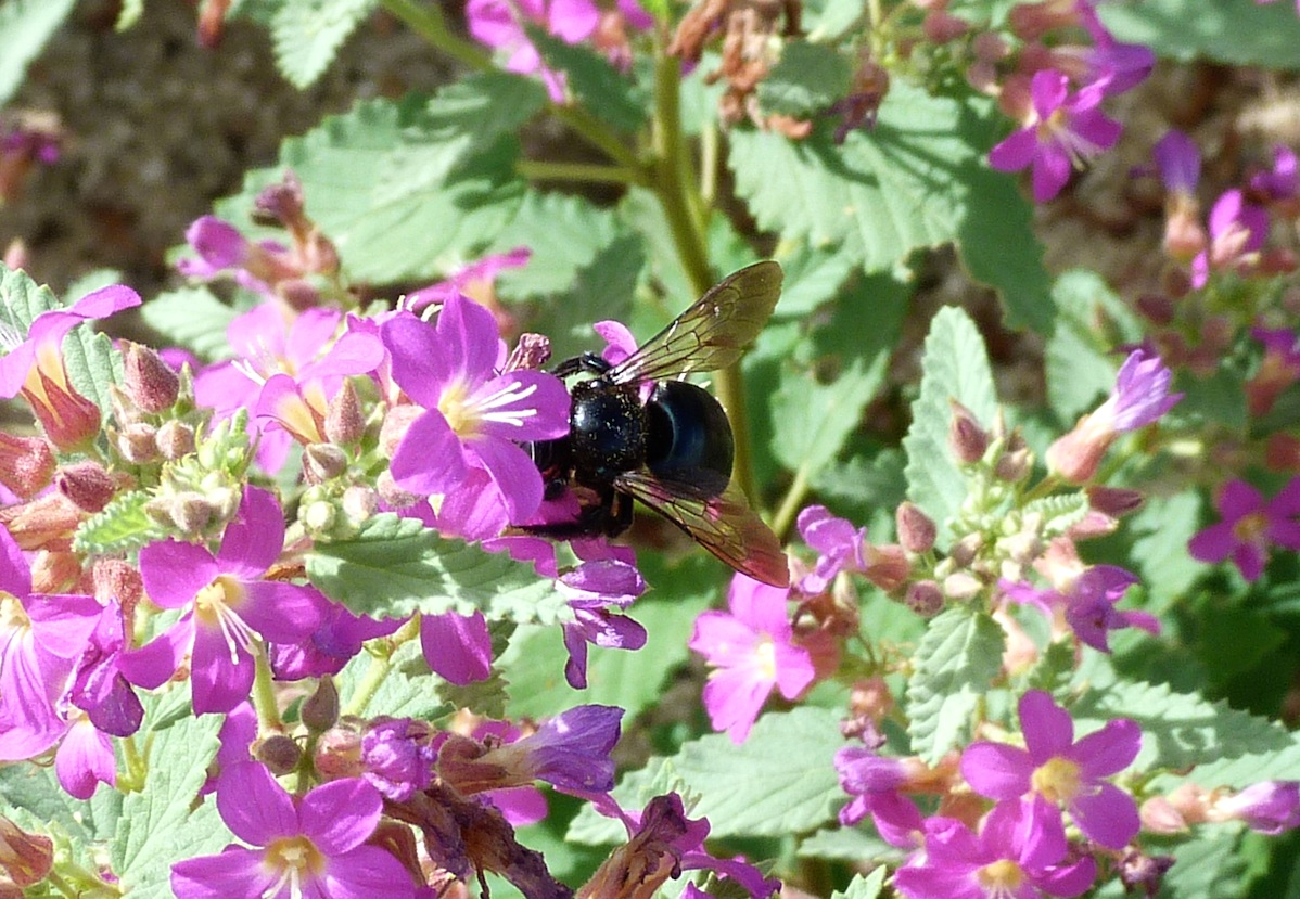 P104XMicansSouthernCarpBee474 July 30, 2011  9:39 a.m.  P1040474 Southern Carpenter Bee, Xylocopa micans, at LBJ WC. Shows off wings.  Apid.