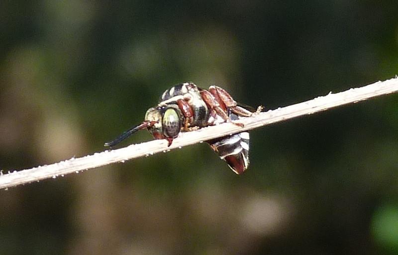 P102TriepeolusSpCuckooBee120 April 28, 2011  9:06 a.m.  P1020120 Triepeolus Cuckoo Bee at LBJ WC, sleeping on grass stem.  Apid.