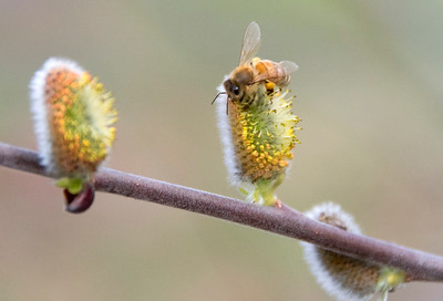 April 5th - Harvesting Pussy Willow Pollen