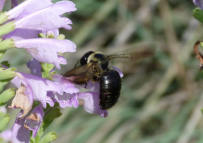 P103ECarpenterBeeXVirginica-250 June 2, 2011  9:45 a.m.  P1030250 Eastern Carpenter Bee, Xylocopa virginica, at LBJ WC.  Apid.