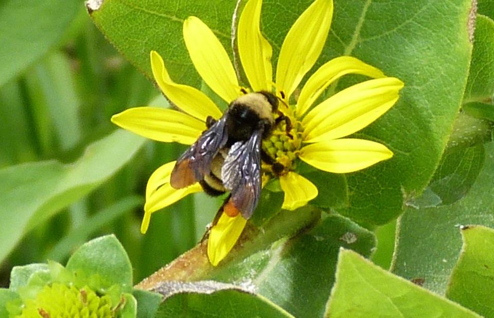 P104BumblebeeBombusPensyl-499 July 30, 2011 10:13 a.m.  P1040499 Bombus pensylvanicus, American Bumblebee.  At LBJ WC.  Apid.