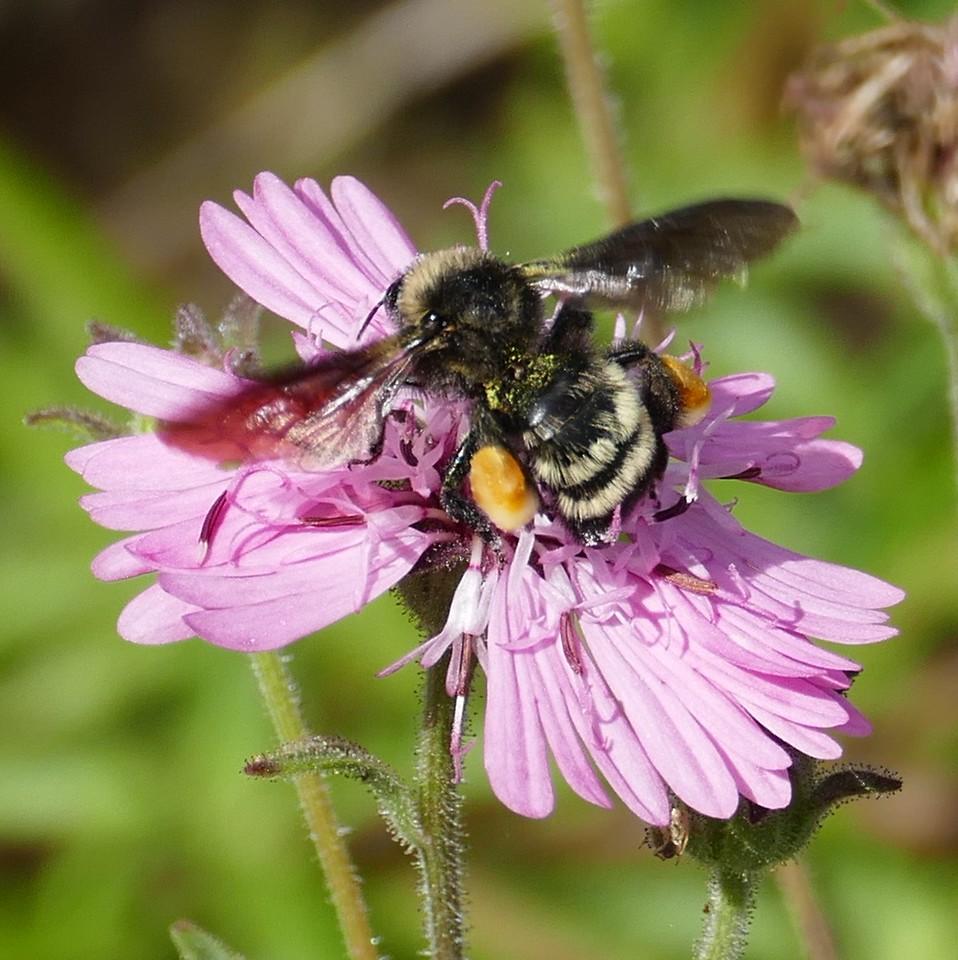 P150BombusPensylvanicus753 Sep. 17, 2015  10:01 a.m.  P1500753 Another look at the American Bumblebee, Bombus pensylvanicus, on Palafoxia at LBJ WC.