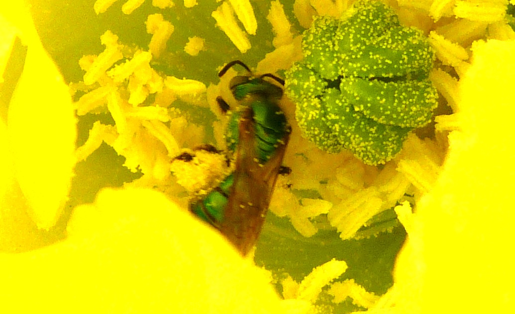 P125GrnSweatBeewBrnEyes642 May 9, 2013  10:59 a.m.  P1250642 Another look at this brown-eyed Green Sweat Bee.  No ID reached.  Seen at LBJ WC.